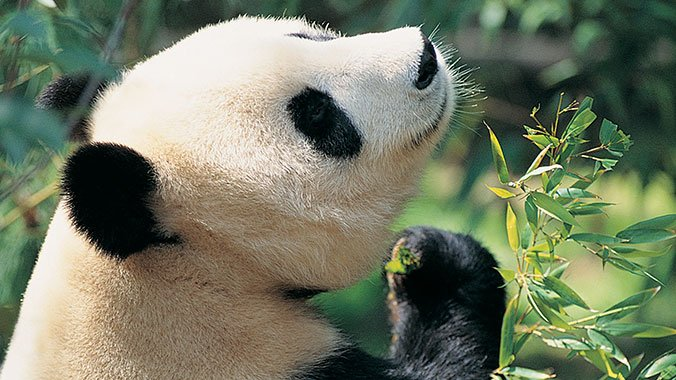 Return to the Wild: Teaching China's Giant Pandas