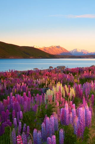 Lupins Of Lake Tekapo, New Zealand