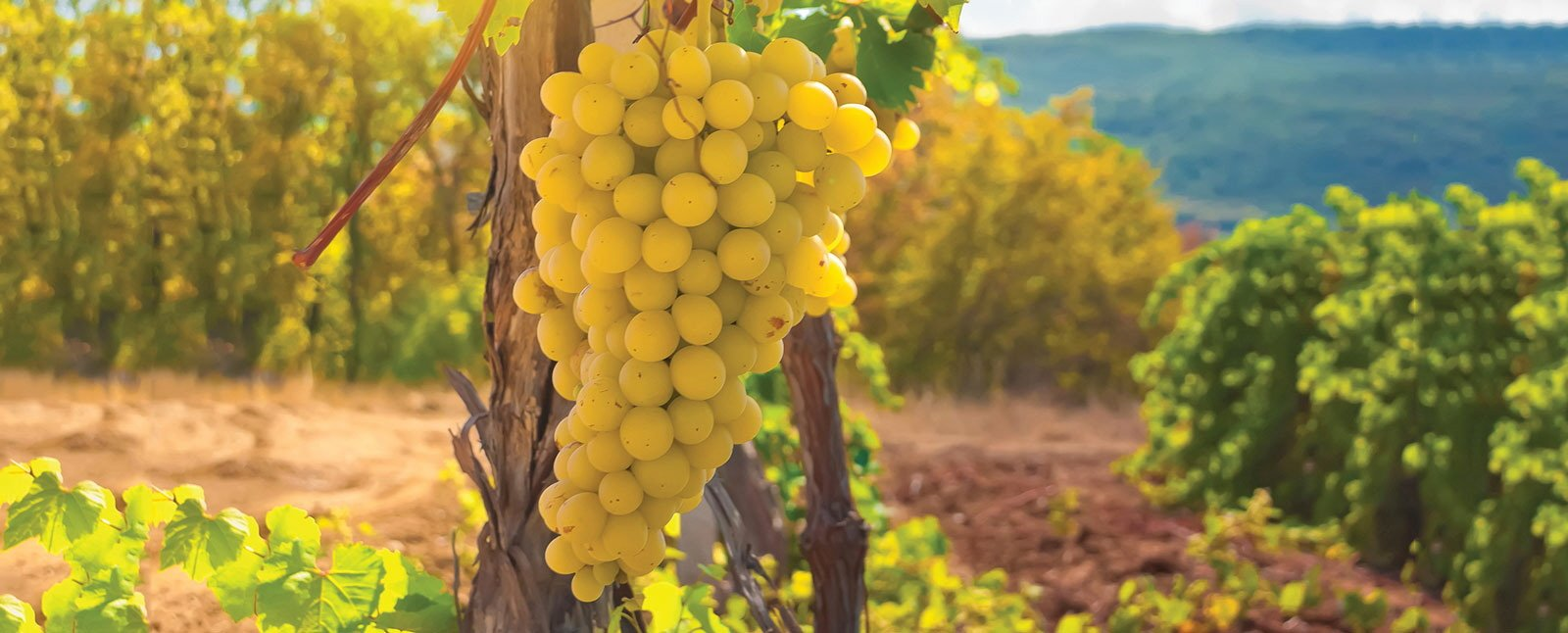 France - Champagne - grapes